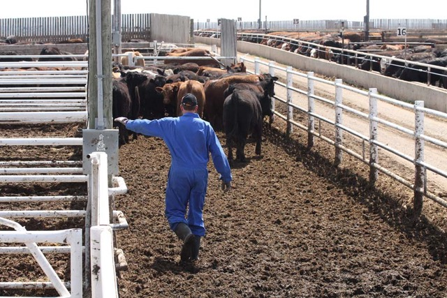 cattle feeder labour crisis